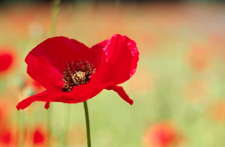 remembrance-day-red-poppy-flower-closeup